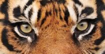 EYE OFTHE TIGER